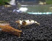 Crystal/bee shrimp