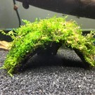 Half coconut with java moss