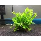 Onlineaquarium spullen Coconut piece with microsorum species