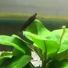 Black sakura garnalen