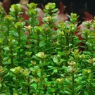 Tropica Rotala 'Bonsai' - In vitro cup