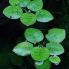 Tropica Limnobium laevigatum - In vitro cup