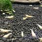 Onlineaquarium spullen Golden bee garnele