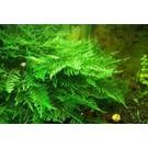 Taiwan moss