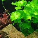 Tropica Nymphoides hydrophylla ''taiwan'' - In vitro cup