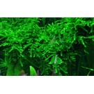 Tropica Weeping moss - In vitro cup