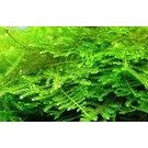 Tropica Christmas moss - In vitro cup