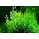 Flame moss 10 grams / 75cc