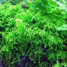 Tropica Weeping moss 20 grams / 150cc