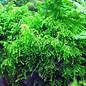 Tropica Weeping moss 20 grams / 150cc
