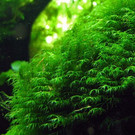 Onlineaquarium spullen Fissidens fontanus ''geppii'' in 25 cc Cup