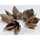 Onlineaquarium spullen Sororoca Blume 9-14 cm