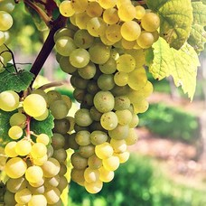 Pinot Blanc / Pinot Bianco