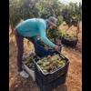Aurora Winery Crystal Chardonnay 2017 - Batroun, Libanon