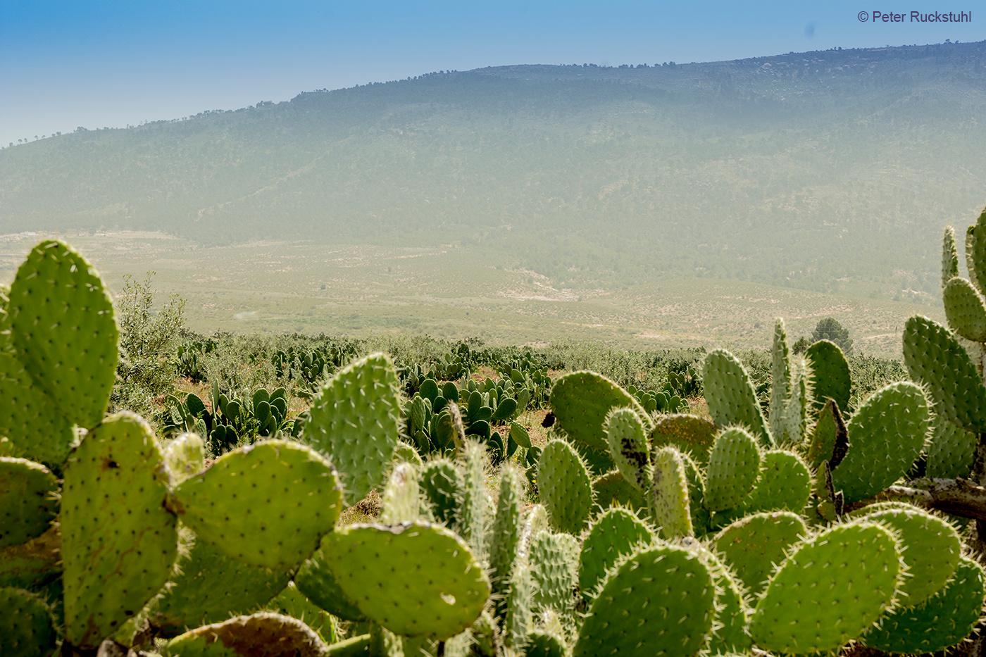 Kaktusfeigen Plantage
