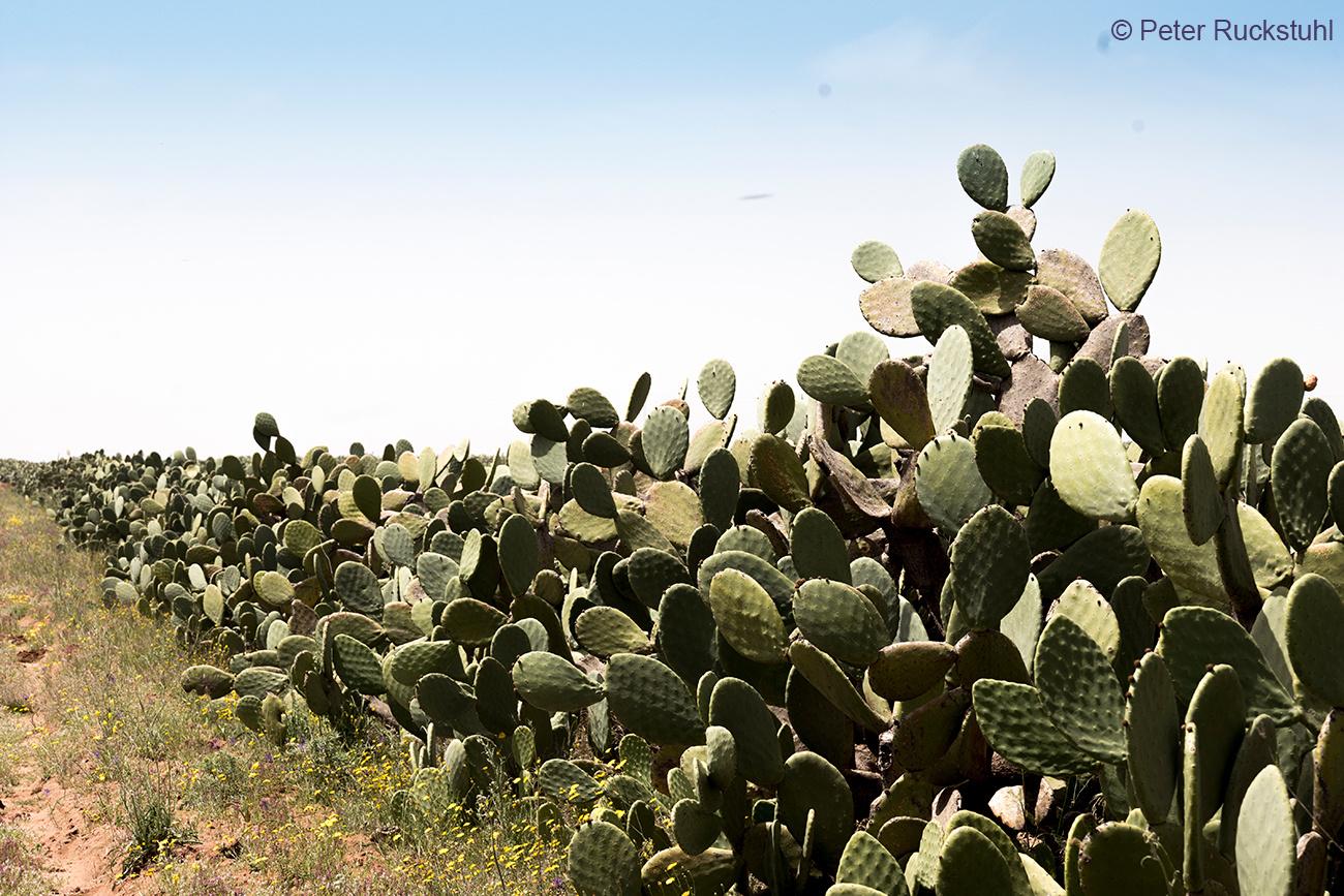 Kaktusfeigen Plantage Tunesien