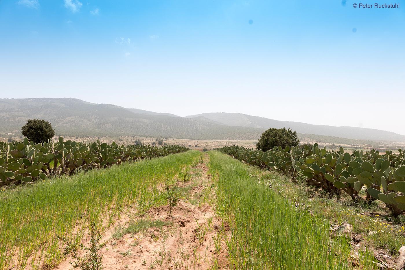 Granatapfel Plantage