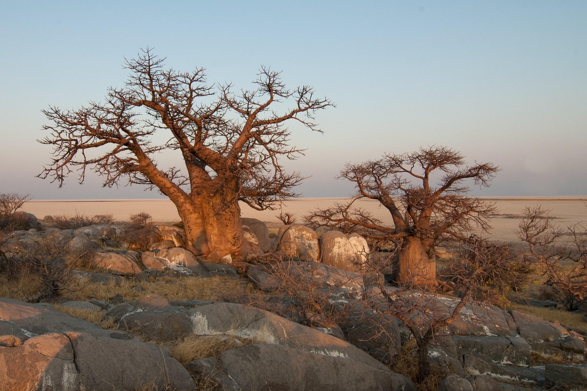 Affenbrotbaum-Baobaböl