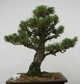 Bonsai Pinus thunbergii kotobuki, no. 5899