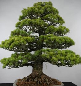 Bonsai Pinus parviflora, no. 6176