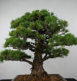 Bonsai Pinus parviflora, no. 6177