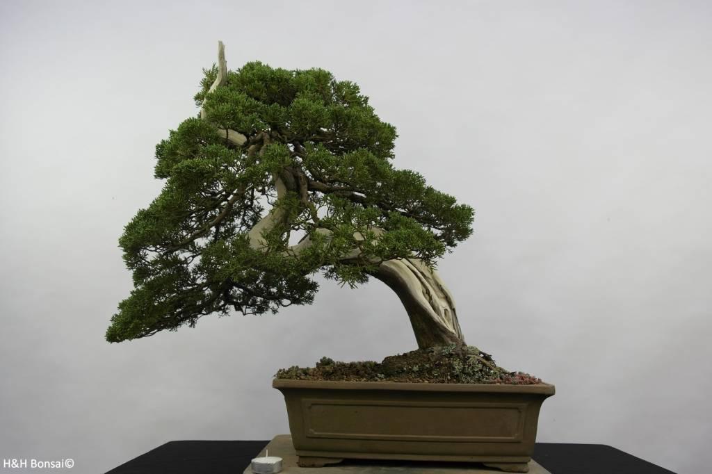Bonsai Juniperus chinensis itoigawa, no. 5178