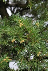 Bonsai Juniperus rigida, no. 5144