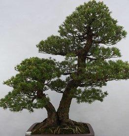 Bonsai Pinus parviflora kokonoe, no. 5179