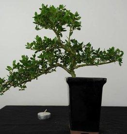Bonsai Ilex crenata, no. 6385