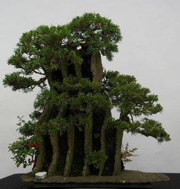 Bonsai Juniperus chinensis, no. 6437