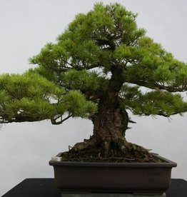 Bonsai Pinus parviflora azuma, no. 6440