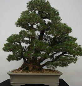 Bonsai Pinus parviflora kokonoe, no. 6452