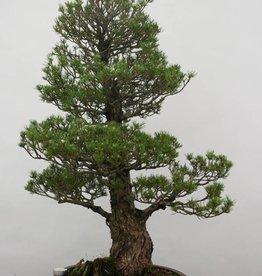 Bonsai Pinus parviflora kokonoe, no. 6454