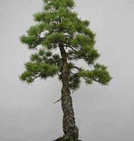 Bonsai Pinus pentaphylla, no. 6455