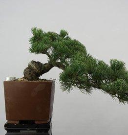 Bonsai Pinus pentaphylla, no. 6475