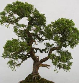 Bonsai Juniperus chinensis, no. 6483