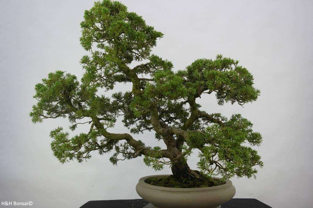 Bonsai Chinese Juniper, Juniperus chinensis, no. 6487