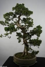 Bonsai Chinese Juniper, Juniperus chinensis, no. 6492