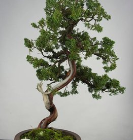 Bonsai Juniperus chinensis, no. 6493