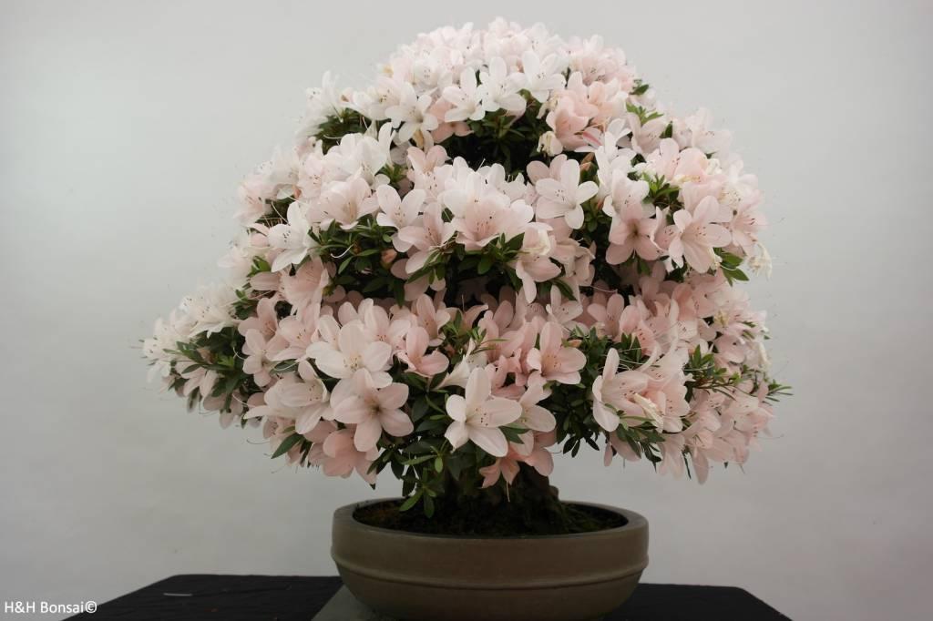 Bonsai Azalea Satsuki Kozan, no. 5294