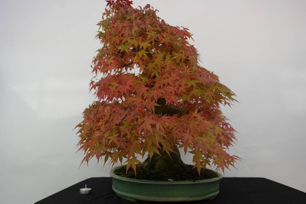 Bonsai Acer palmatum, no. 5508