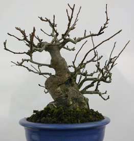 Bonsai Malus sieboldii, no. 5105