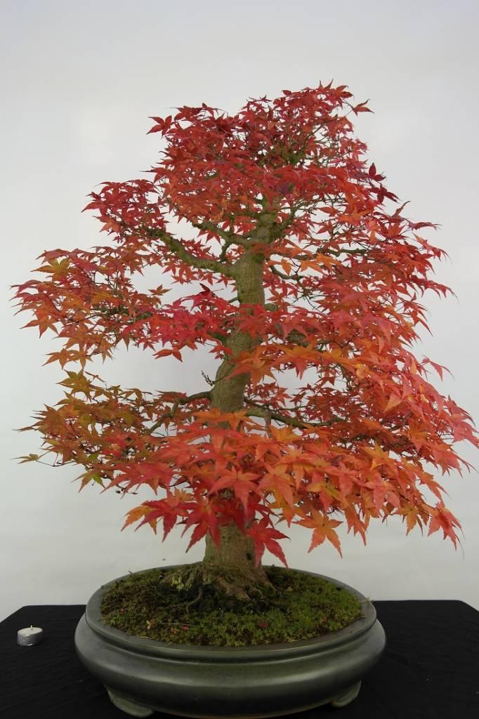 Bonsai Acer palmatum deshojo, no. 5231