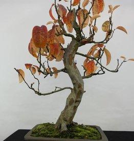 Bonsai Cydonia oblonga, no. 5234