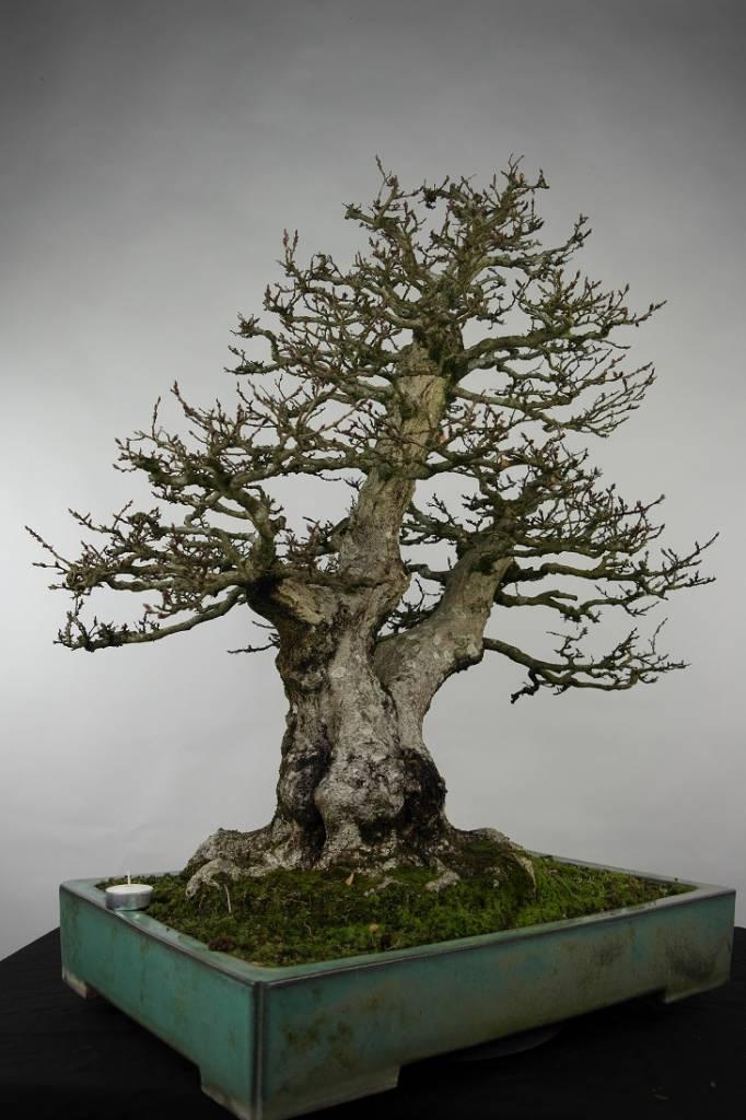 Bonsai Carpinus coreana, no. 5135