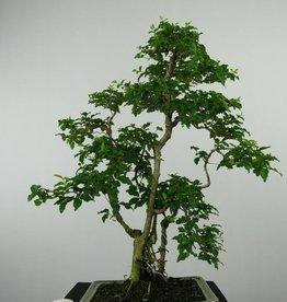 Bonsai Ligustrum sinense, no. 6495