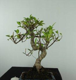 Bonsai Ficus retusa, no. 6538