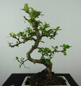 Bonsai Carmona macrophylla, no. 6558