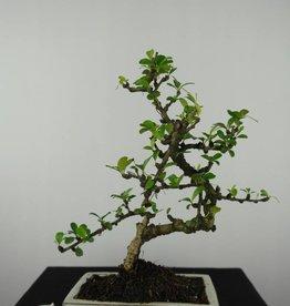 Bonsai Carmona macrophylla, no. 6561