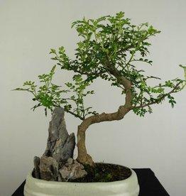 Bonsai Zanthoxylum piperitum, no. 6665